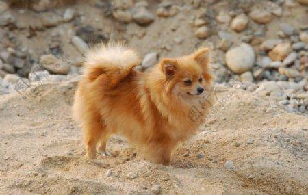 沙地狐狸狗图片