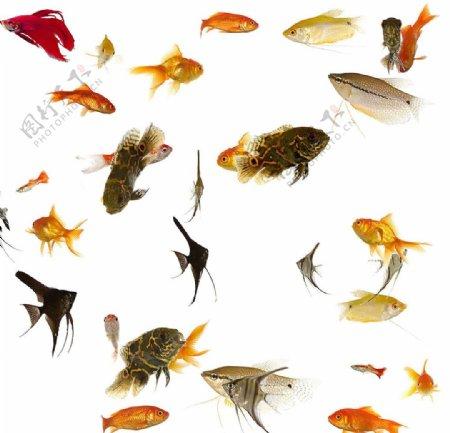 鱼素材图片