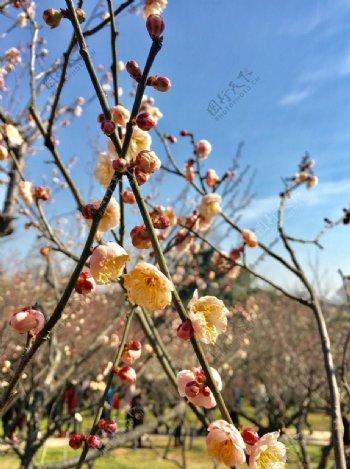 梅花的春天