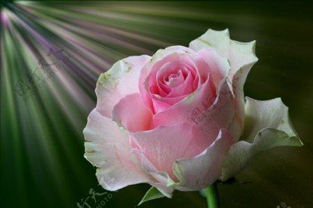 淡粉色玫瑰