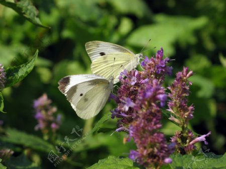 蝶双飞图片