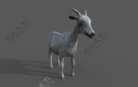 写实动物羊模型png透明底图