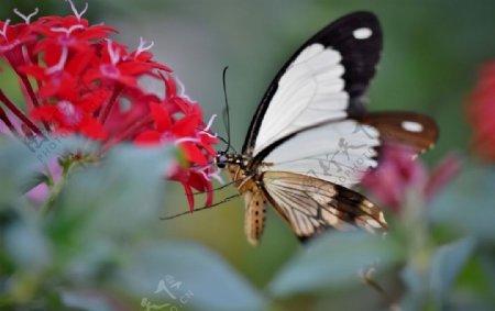 白色黑边蝴蝶
