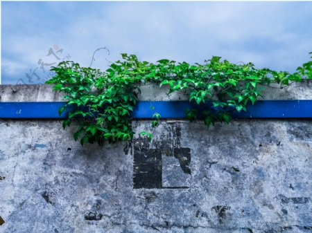 围墙上的藤蔓