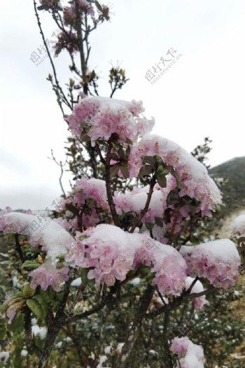 雪山上的杜鹃花