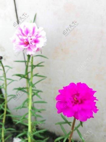 重瓣太阳花