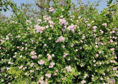 藤蔓月季花