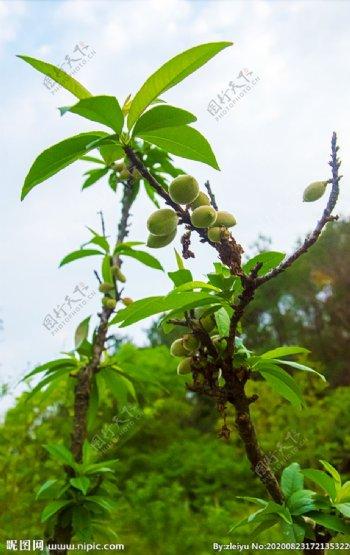 大自然风景桃树新果实