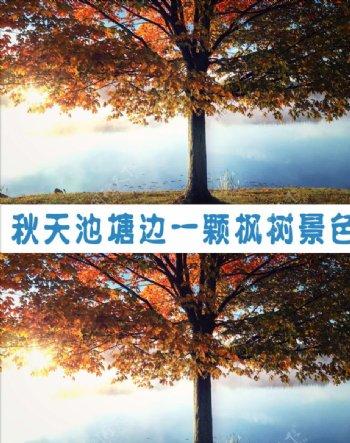 秋天小溪边一颗枫树的景色视频