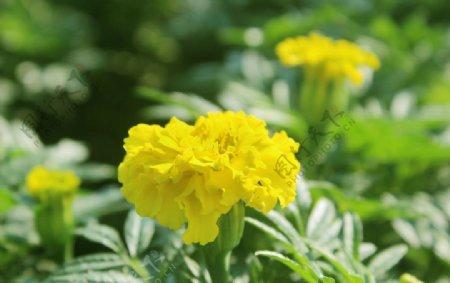 黄色的康乃馨花图片