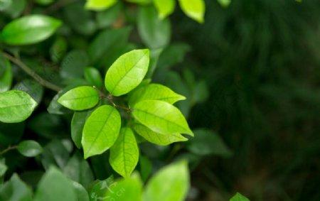 清新草木绿叶子图片
