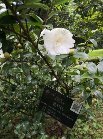 昆明市植物园茶花开放图片