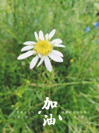 小雏菊图片