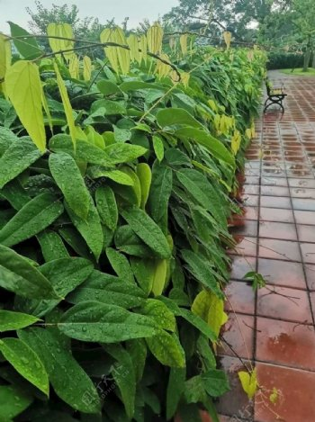 藤蔓带雨图片