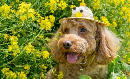 油菜花地里面的小狗图片