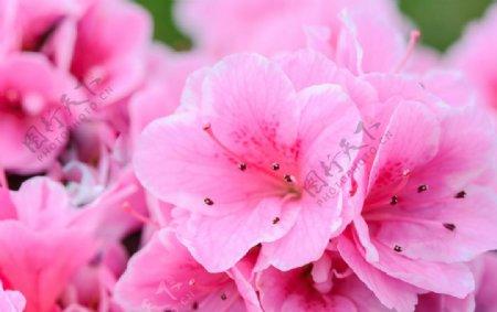 粉色杜鹃花图片