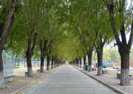 美丽的柳树图片