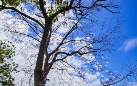蓝天大树白云图片