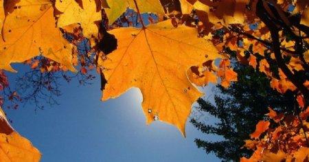 秋天枫叶美景图片