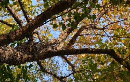 仰拍秋天大树图片