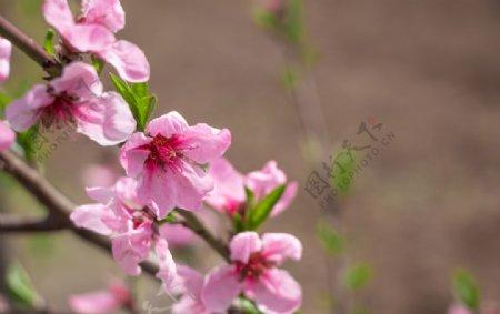 春天粉色海棠花摄影图片