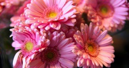 漂亮的非洲菊摄影美图图片