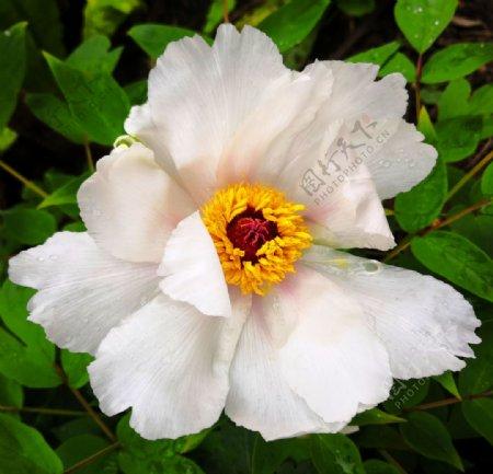 花卉摄影牡丹花图片