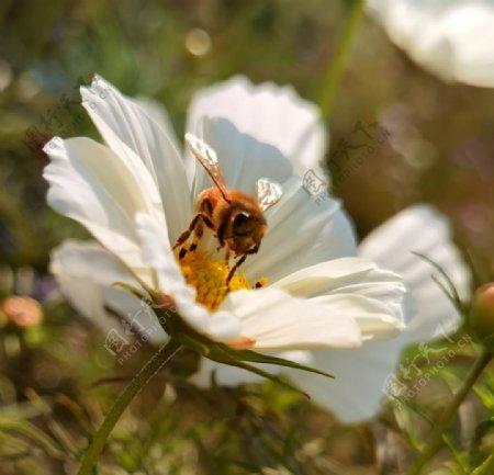 蜜蜂花朵鲜花图片