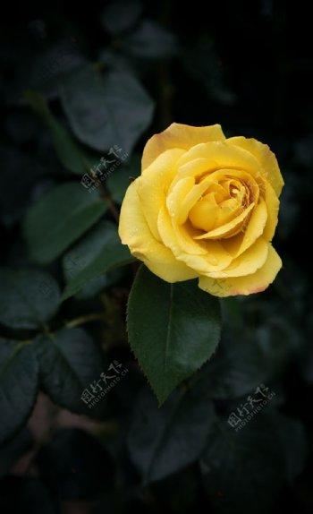 黄色玫瑰花高清大图图片