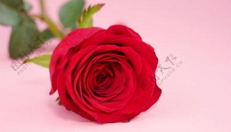 红玫瑰高清特写图片