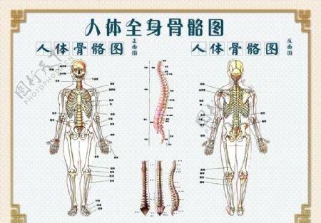 人体骨骼图图片