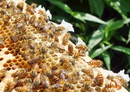 蜜蜂中华土蜂图片