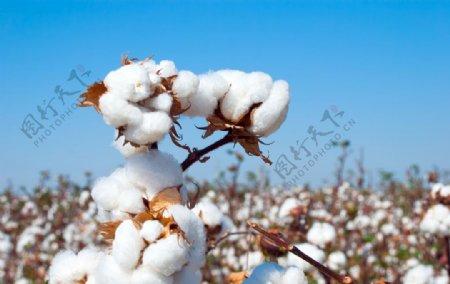 成熟的棉花的分支图片