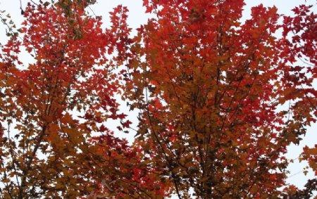 红枫数树叶秋天的景色美景图片