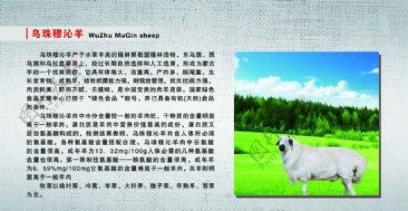 乌珠穆沁羊图片