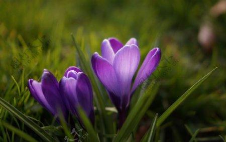 藏红花图片