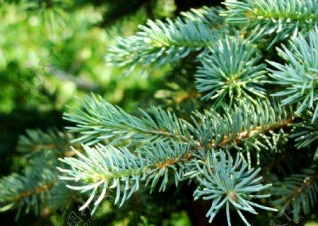 松树森林图片