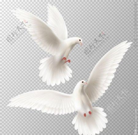 白鸽矢量素材图片