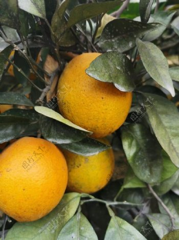 橙子树图片
