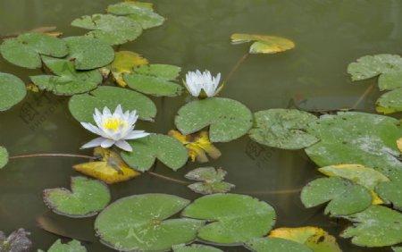 园林水生植物白色睡莲图片