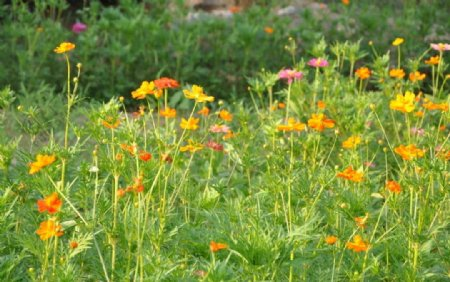 园林地被植物应用野花组合图片