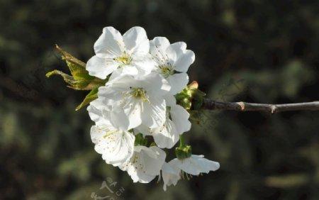 景观植物樱桃的花枝图片