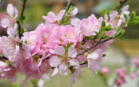 北方园林植物榆叶梅的花枝图片
