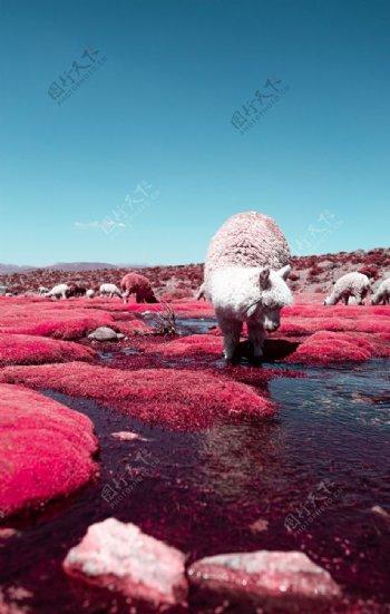 风景羊驼图片