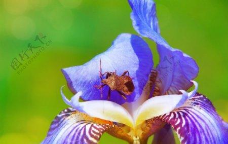 蓝紫色的鸢尾花图片